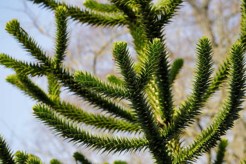 Aukaria o gęstych zielonych igłach, a także ciekawe odmiany tego drzewka ozdobnego do domu i ogrodu krok po kroku