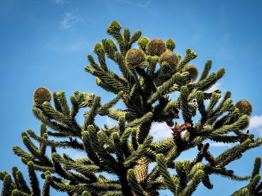 Drzewko araukaria w ogrodzie na tle nieba, a także opis, wymagania, sadzenie i pielęgnacja drzewa iglastego