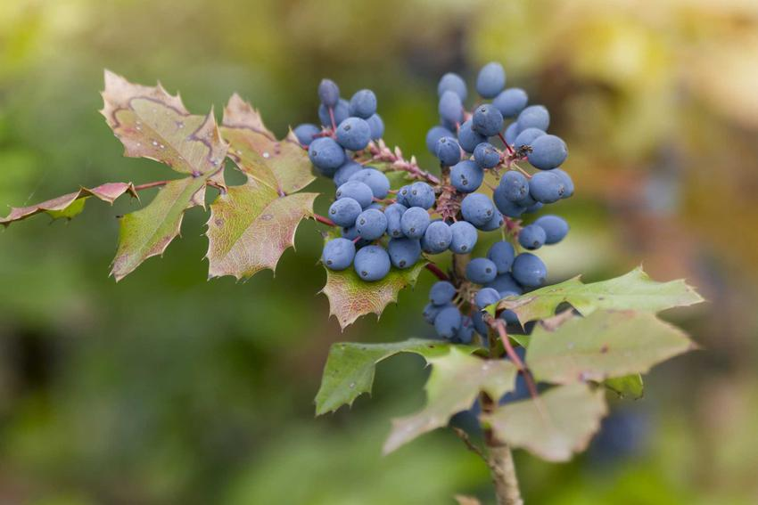 Niebieskie jagody na kwiecie mahonii (ościał), a także odmiany, uprawa i pielęgnacja tego wyjątkowego krzewu krok po kroku