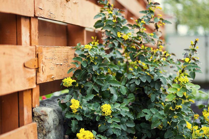 Mahonia o żółtych kwiatach w ogrodzie, a także opis krzewu ozdobnego, odmiany, sadzenie, pielęgnacja i wymagania
