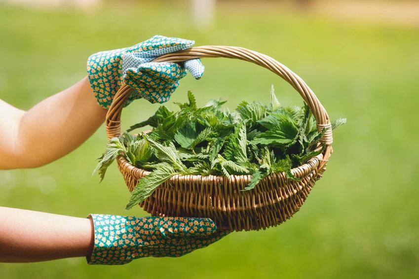 Zebrane pokrzywy w koszyku na gnojówkę z pokrzyw, a także popularny nawóz, przygotowanie, receptura oraz promocje