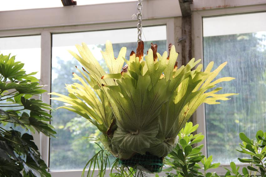 Kwiat płaskla w doniczne, a także inne piękne i ciekawe kwiaty domowe, czyli polecane kwiaty donieczkowe do domu krok po kroku