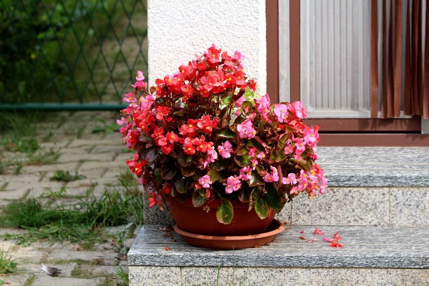 Begonia doniczkowa wiecznie kwitnąca na schodach przy tarasie, a także begonie w domu i na balkonie krok po kroku