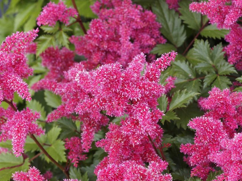 Fioletowe kwiaty tawułki Arendsa w ogrodzie, a także pielęgnacja, uprawa, wymagania, sadzenie oraz odmiany