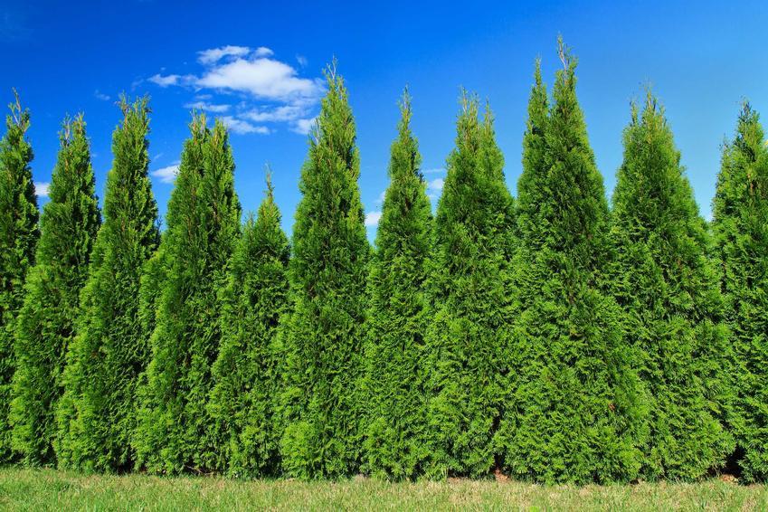 Rząd krzewów cyprysów w ogrodzie, a także odmiany, uprawa, pielęgnacja, zastosowanie, sadzenie i wymagania cyprysów
