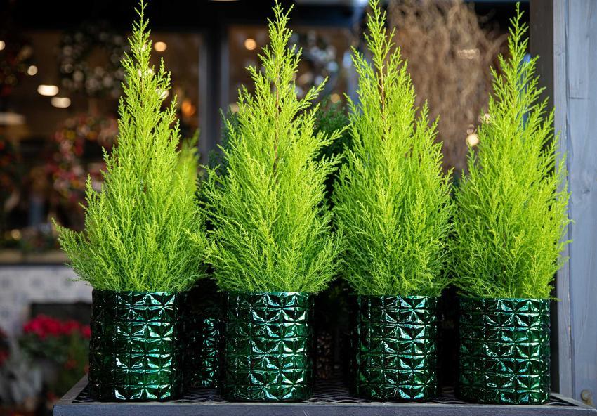 Drobne krzewy cyprysów w doniczkach, a także sadzonki cyprysów w ogrodzie, uprawa, odmiany, pielęgnacja i zastosowanie