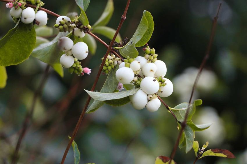 Owoce śnieguliczki białej z bliska, a także opinie, uprawa, pielęgnacja śnieguliczki oraz sadzenie