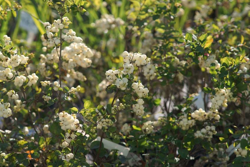 Owoce śnieguliczki białej bardzo liczne na krzewach, a także opinie, sadzenie, uprawa i pielegnacja