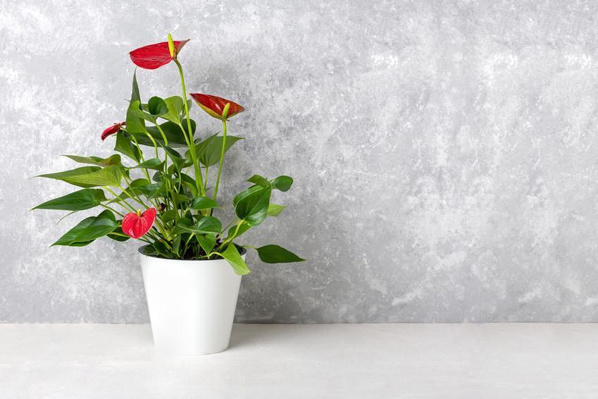 Anturium w doniczce oraz inne polecane i ciekawe rośliny doniczkowe i kwiaty doniczkowe, czyli najlepsze kwiaty domowe krok po kroku