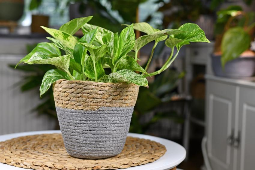 Epipremnum w doniczce oraz inne polecane i ciekawe rośliny doniczkowe i kwiaty doniczkowe, czyli najlepsze kwiaty domowe krok po kroku