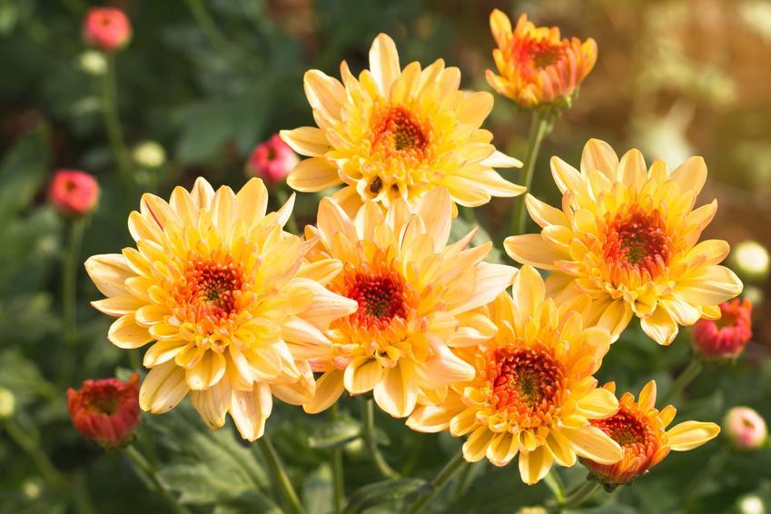 Złocień w doniczce oraz inne polecane i ciekawe rośliny doniczkowe i kwiaty doniczkowe, czyli najlepsze kwiaty domowe krok po kroku