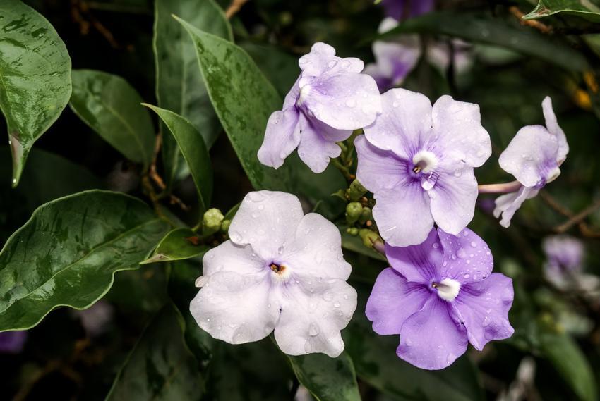 Brunfelsia w czasie kwitnienia w doniczne, a także inne piękne i ciekawe kwiaty domowe, czyli polecane kwiaty donieczkowe do domu krok po kroku