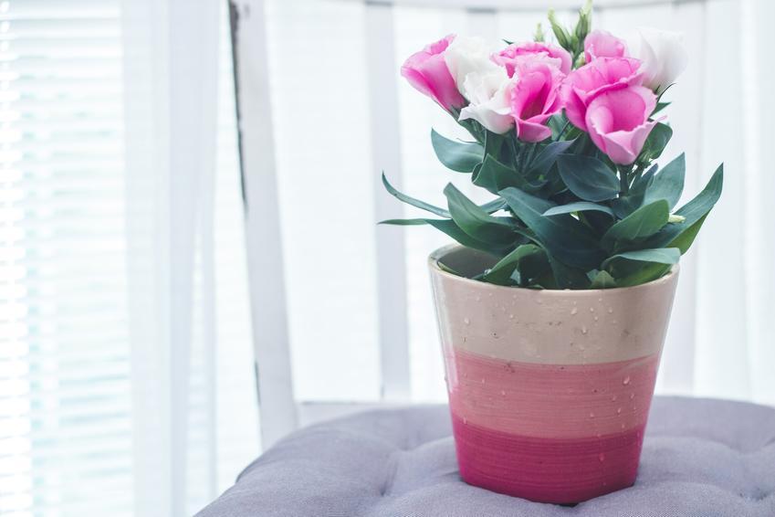 Kwiat eustoma w doniczne, a także inne piękne i ciekawe kwiaty domowe, czyli polecane kwiaty donieczkowe do domu krok po kroku