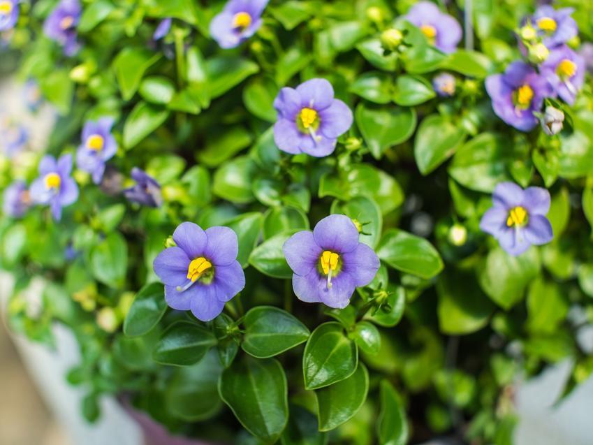 Goryczka w czasie kwitnienia w doniczne, a także inne piękne i ciekawe kwiaty domowe, czyli polecane kwiaty donieczkowe do domu krok po kroku