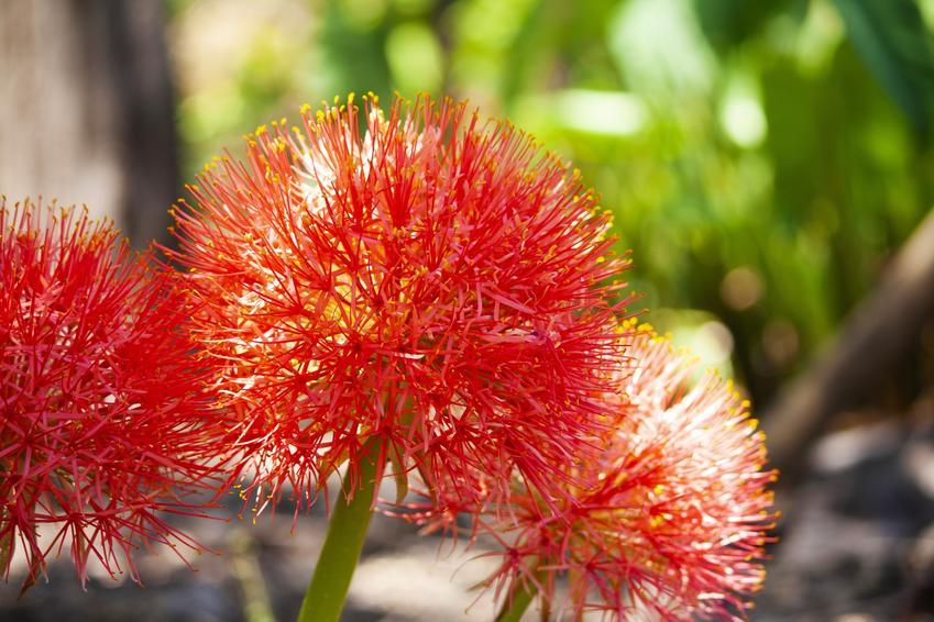 Krasnokwiat w czasie kwitnienia w doniczne, a także inne piękne i ciekawe kwiaty domowe, czyli polecane kwiaty donieczkowe do domu krok po kroku