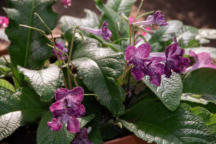 Skrętnik w doniczne, a także inne piękne i ciekawe kwiaty domowe, czyli polecane kwiaty donieczkowe do domu krok po kroku