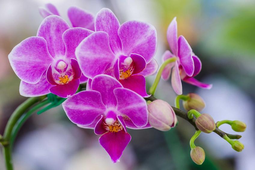 Fioletowy storczych falenopsis o delikatnych kwiatach, a także najważniejsze zasady, jak dbać o storczyki