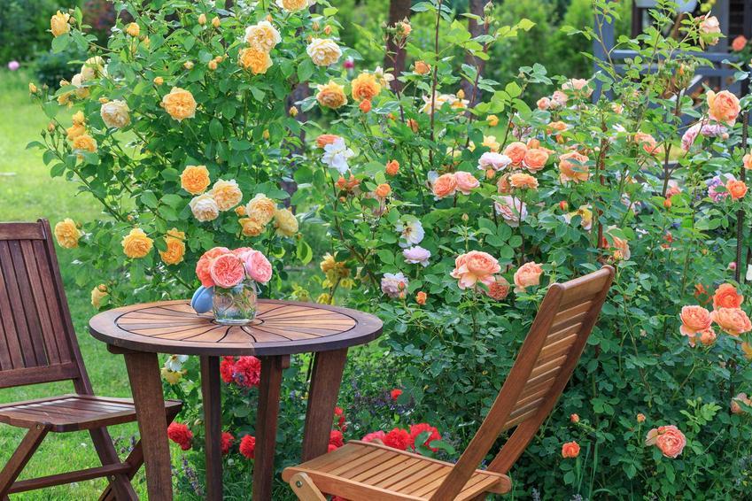 Duży krzew róży wielkokwiatowej o pomarańczowych kwiatach przy drewnianym stoliku, a także zastosowanie, uprawa i pielęgnacja