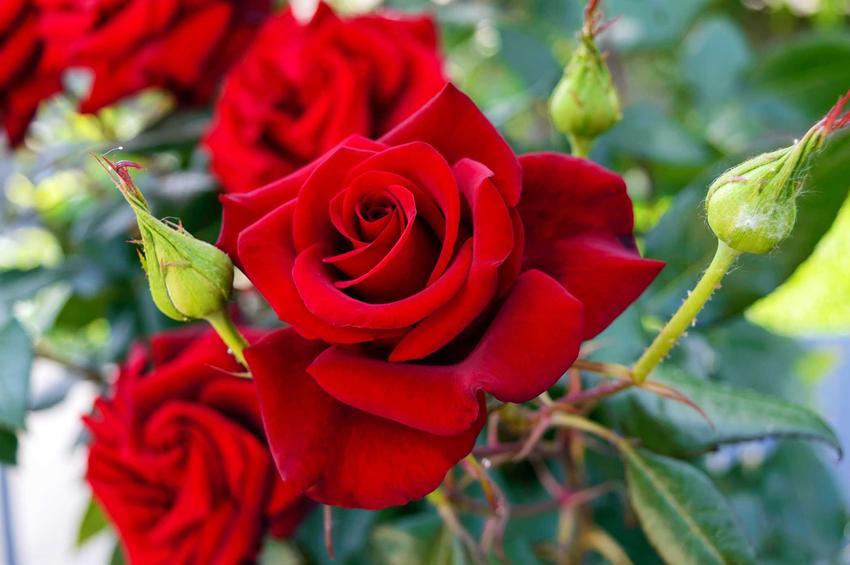 Czerwone róże wielkokwiatowe, a także kolor kwiatów, zastosowanie, uprawa, pielęgnacja i sadzenie