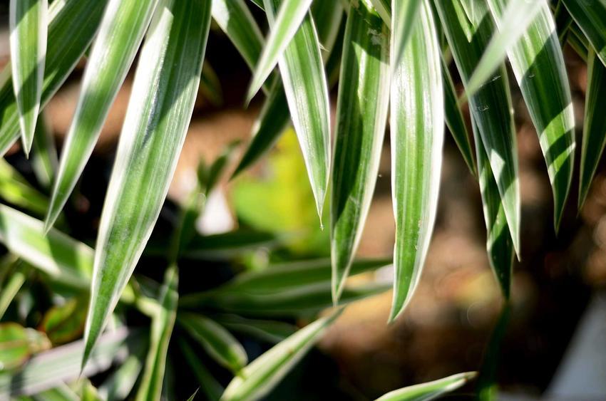 Liście turzycy palmowej o białych obwódkach, a także pielęgnacja, uprawa, odmiany, kolory i wymagania