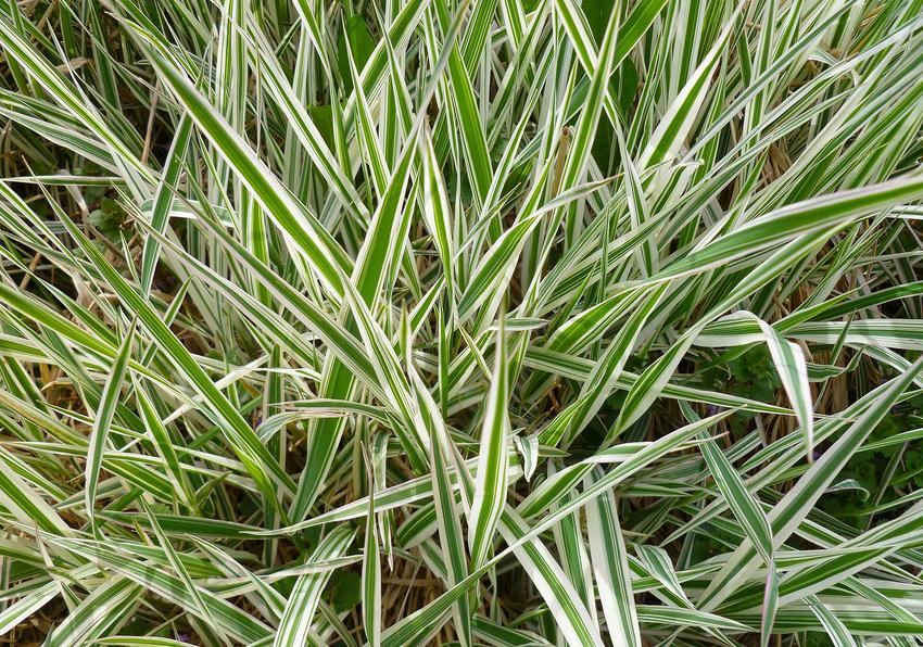 Duża kępa trawy turzyca palmowa o ozdobnych liściach w ogrodzie, a także uprawa, pielęgnacja oraz najpiękniejsze odmiany turzycy