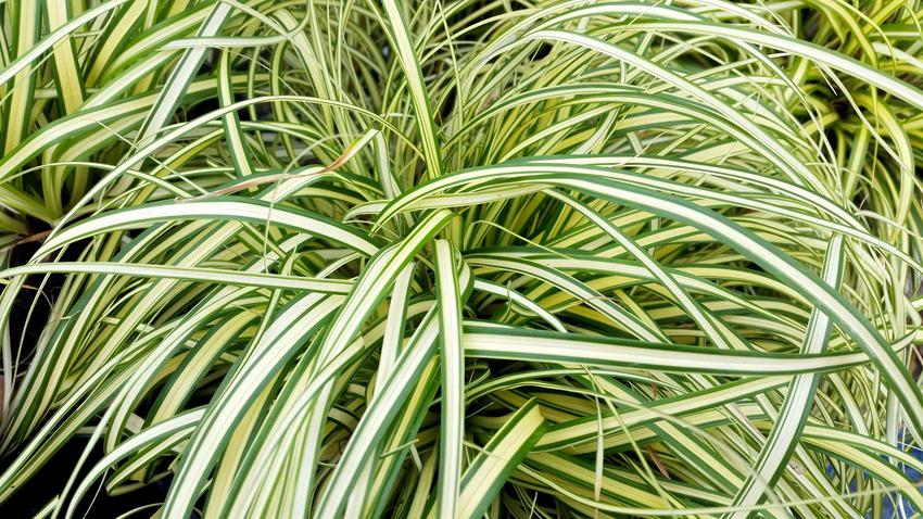 Zielono-biała odmiana turzycy piaskowej rosnąca w ogrodzie, a także inne mniej znane odmiany i gatunki turzycy krok po kroku
