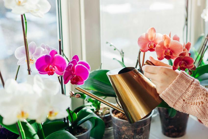Podlewanie storczyków o różnych kolorach na oknie z cynowej konewki, a także co ile i jak dużo podlewać storczyki, najlepsze porady