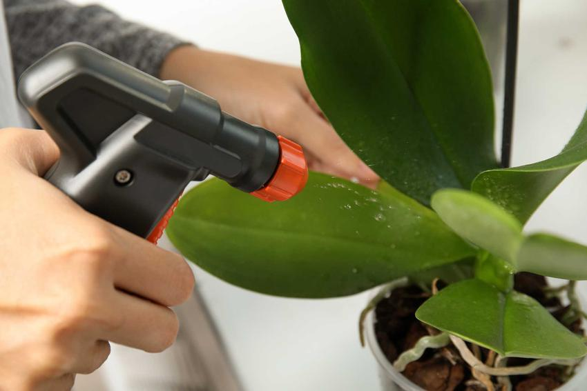Spryskiwanie liści storczyków, a także podlewanie storczyków krok po kroku - jak często podlewać storczyki