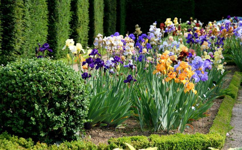 kolorowe kosaćce na grządce w ogrodzie, a także uprawa, pielęgnacja, odmiany oraz kwitnienie kosaćców krok po kroku