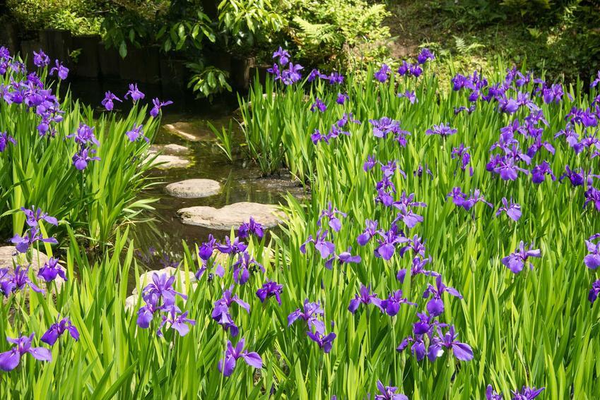 Niebieskie kosaćce przy oczku wodnym, a także inne gatunki i odmiany kosaćców do ogrodu, pielęgnacja, kwitnienie i sadzenie