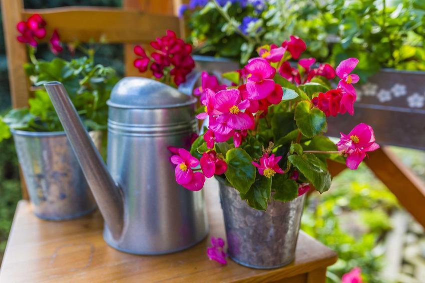 Różowy kwiat begonii stale kwitnącej w blaszanej doniczce na balkonie, a także wymagania, uprawa, pielęgnacja i sadzenie rośliny