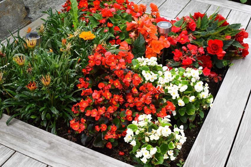 Begonie stale kwitnące białe i czerwone w ziemi ogrodowej w drewnianej skrzynce, a także sadzenie, wymagania, uprawa i pielęgnacja rośliny