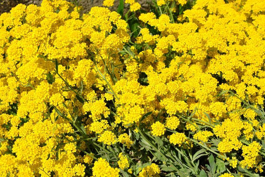 Żółte kwiaty smagliczki skalnej do ogrodu skalnego, a także odmiany, uprawa, pielęgnacja i sadzenie