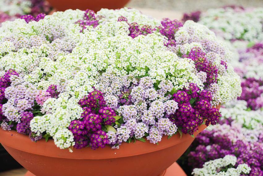 Białe i fioletowe kwiaty smagliczki nadmorskiej w dużej donicy w ogrodzie, a także odmiany, uprawa, pielęgnacja oraz sadzenie smagliczek