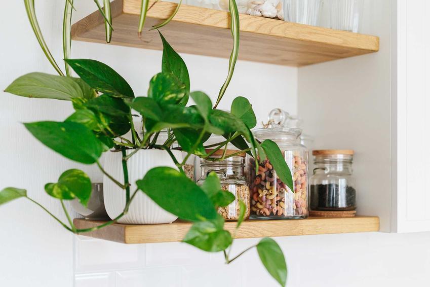 Scindapsus o zielonych liściach na kuchennej półce, a także pielęgnacja, podlewanie, wymagania, sadzenie i uprawa odmian scindapsusa