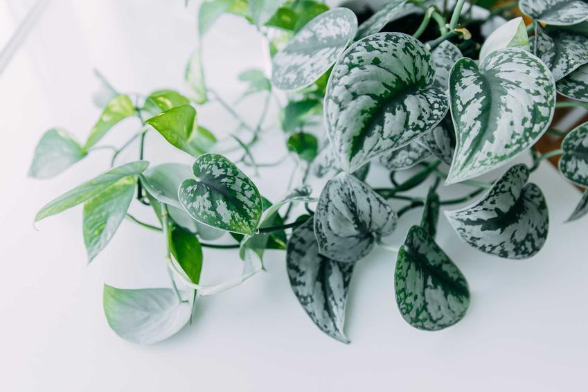 Scindapsus ciekawej odmiany o szaro-zielonych liściach, a także pielęgnacja, podlewanie, wymagania, stanowisko oraz uprawa