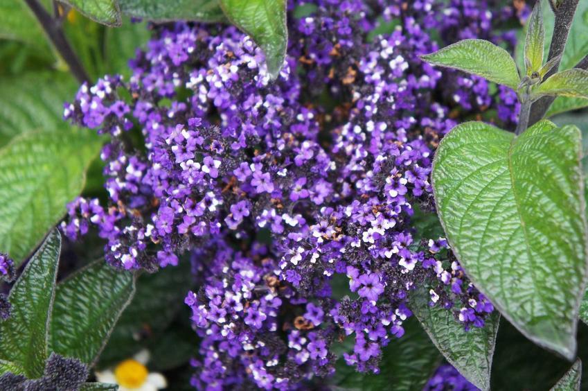 Heliotrop o fioletowych kwiatach, a także pielęgnacja i uprawy, sadzenie, stanowisko oraz porady praktyczne