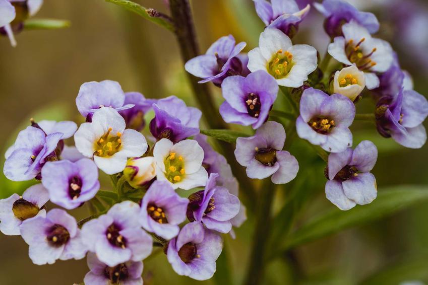 Fioletowo-niebieskie kwiaty heliotropu w ogrodzie, a także odmiany rośliny, uprawa, pielęgnacja, zastosowanie oraz porady praktyczne