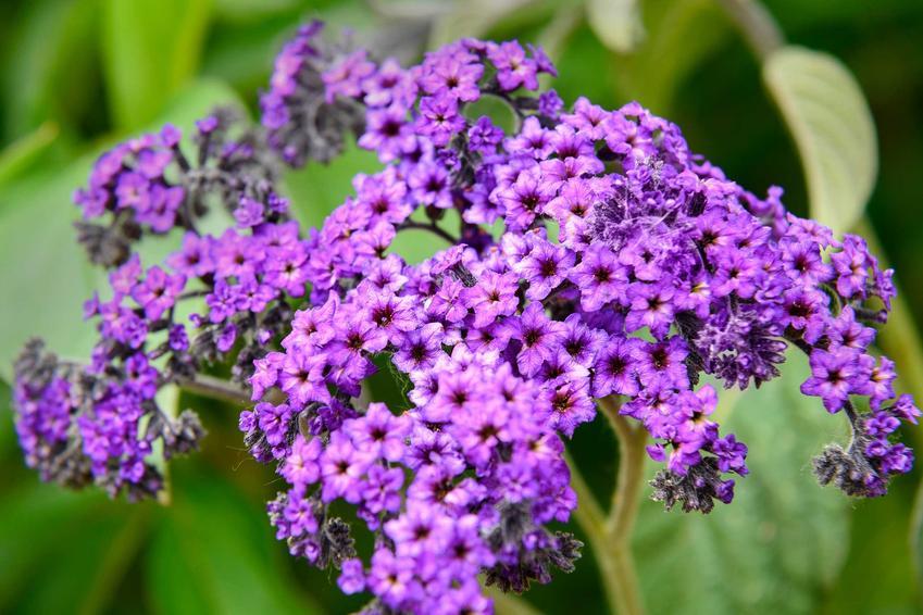 Fioletowe kwiaty heliotropu peruwiańskiego, a także uprawa i pielęgnacja rośliny krok po kroku, zastosowanie oraz sadzenie