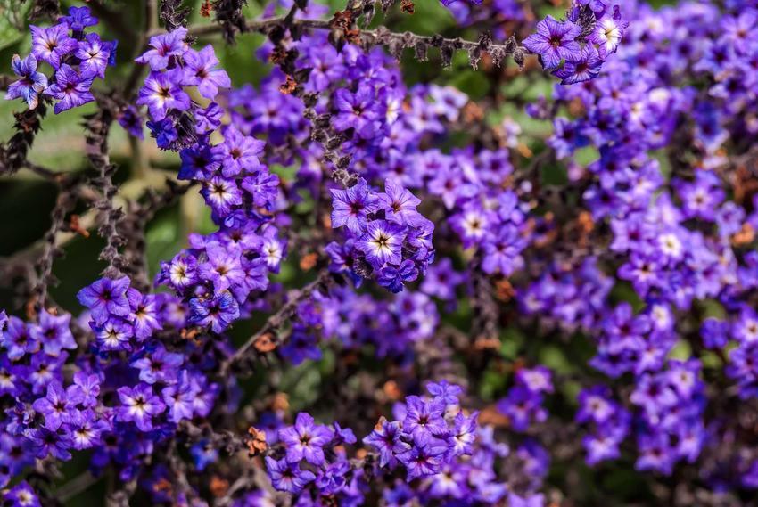 Niebieskie kwiaty heliotropu peruwiańskiego, a także wysiew nasion, uprawa, pielęgnacja, zastosowanie i sadzenie