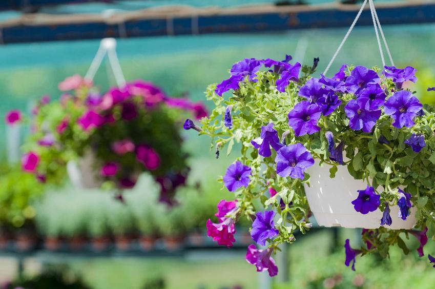 Fioletowa i niebieska surfinia wiszące na balkonie, a także wymagania, odmiany, uprawa oraz pielęgnacja roślin