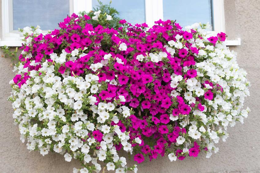 Surfinia o białych i fioletowych kwiatach, a także najpiękniejsze odmiany rośliny, uprawa, pielęgnacja oraz wymagania co do stanowiska