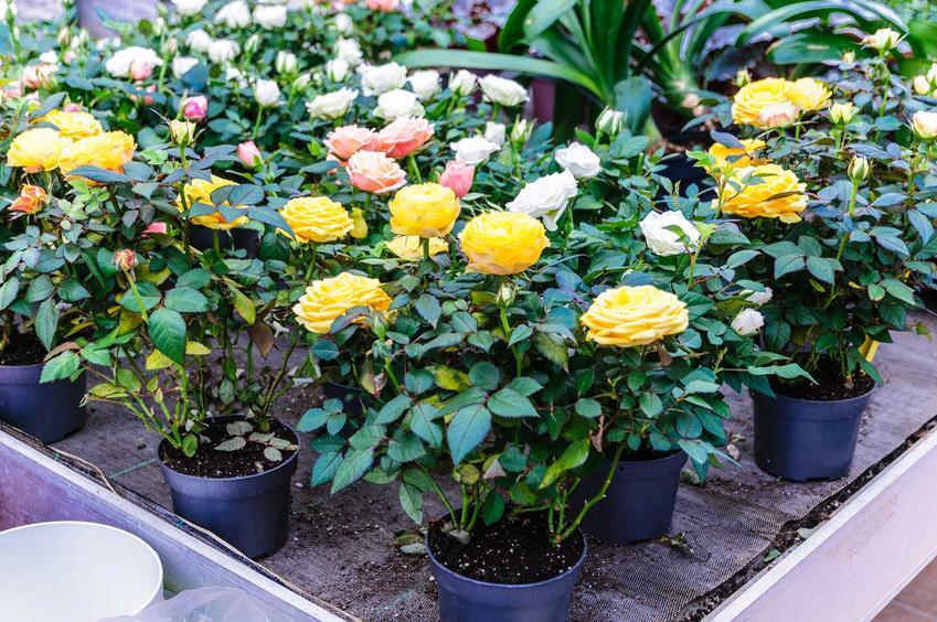 Sadzonki żółtych róż w doniczkach na palecie, a także kiedy i jak sadzić róże prawidłowo w ogrodzie krok po kroku