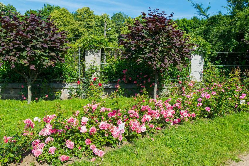 Różowe róże ogrodowe rosnące na działce rekreacyjnej, a także najlepsze odmiany, uprawa oraz przycinanie róż krok po kroku