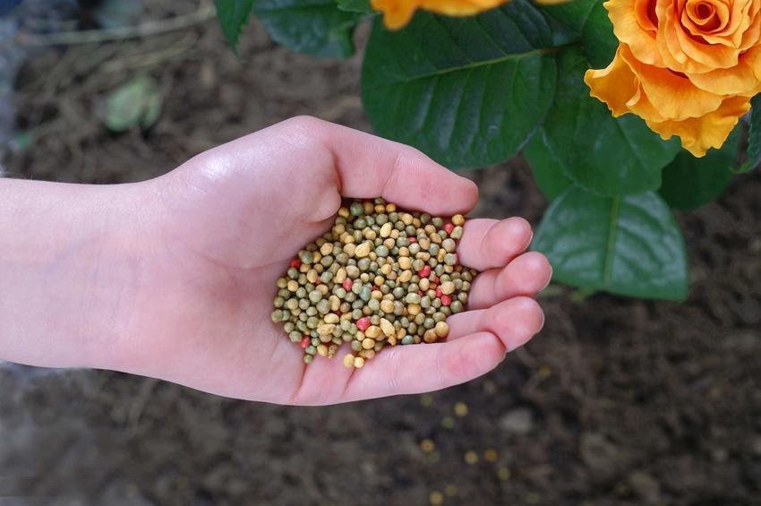 Nawózdo róż wysypany na dłoni, a także informacje, jak nawozić róże, najlepsze terminyh na nawożenie róż.