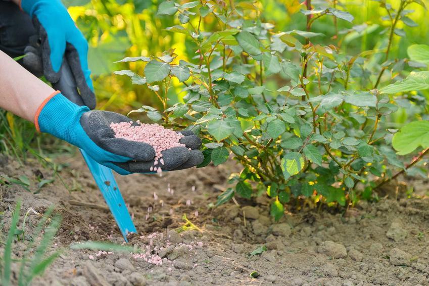 Podsypywanie krzewu różanego nawozem w ogrodzie, a także jak prawidłowo nawozić róże, najlepsze terminy oraz zastosowanie nawozów do róż