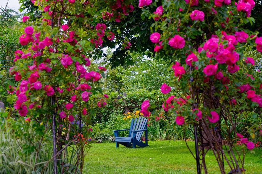 Różowe róże angielskie pnące owinięte wokół pergoli, a także rodzaje i odmiany róż angielskich, wymagania, sadzenie i pielęgnacja