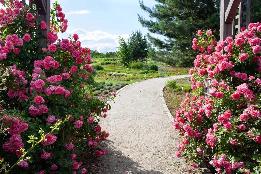 Różowe róże pnące przy ścieżce w ogrodzie, a także najpiękniejsze odmiany, sadzenie, uprawa oraz pielęgnacja krok po kroku