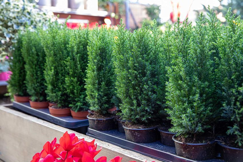 Sadzonki cyprysików w doniczkach, a także cyprysik w ogrodzie, jego pielęgnacja i uprawa, rodzaje oraz odmiany
