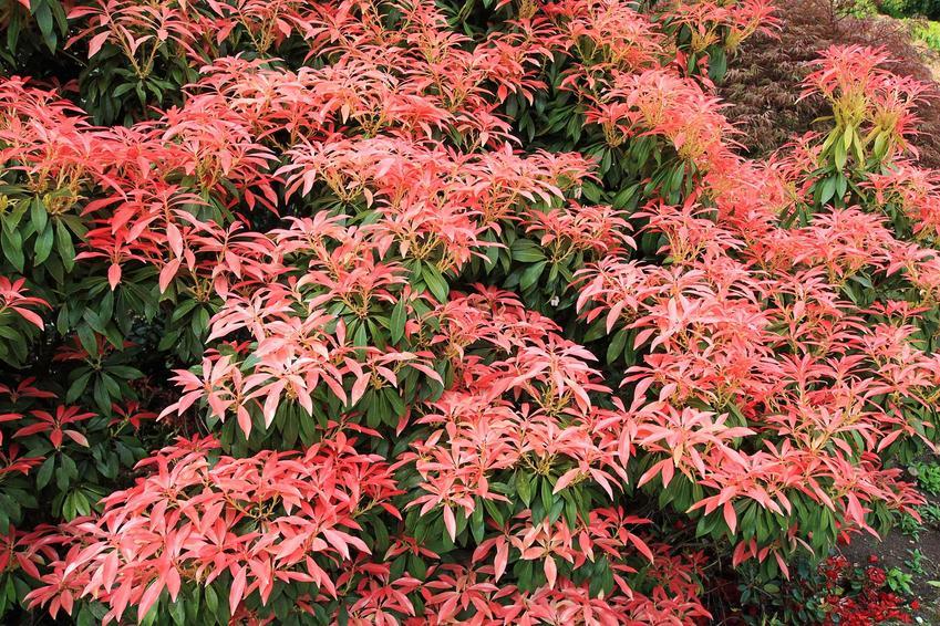 Pieris japoński o czerwonych kwiatch, a także uprawa, rozmnażanie, choroby oraz sadzenie w ogrodzie krok po kroku